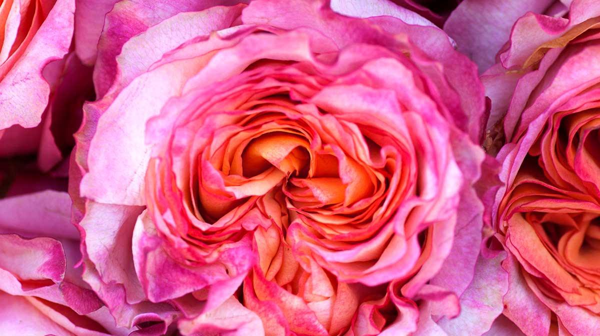 Inhaltsstoffe: Die Kraft der Rose