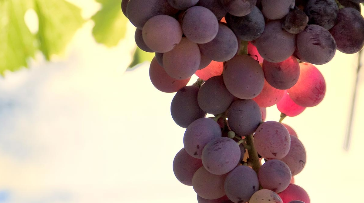 What are the Benefits of Resveratrol?