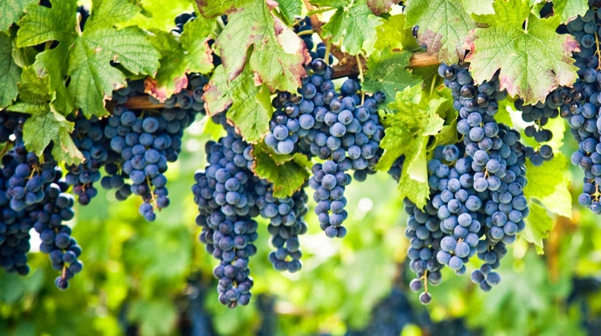 Grape Seed – Your Natural Antioxidant