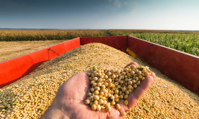 soybean crops-risks of soy protein isolate
