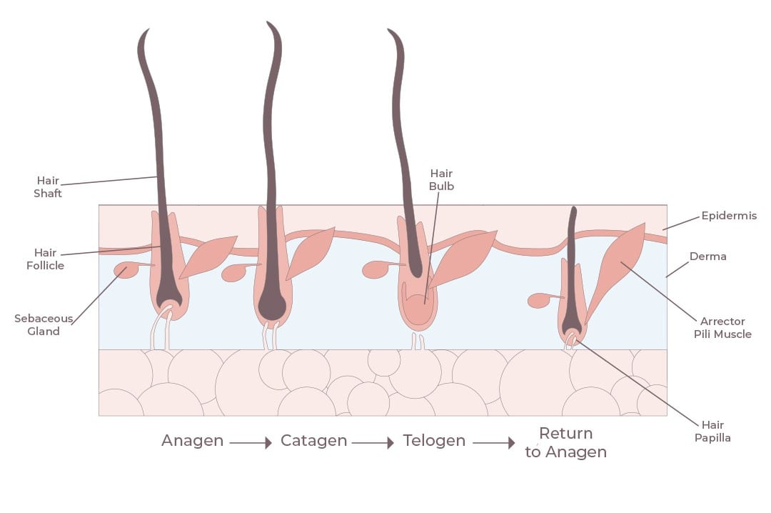 Hair Growth Cycle - The 3 Stages Explained - Grow Gorgeous