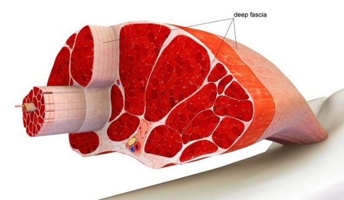 фасции мышц