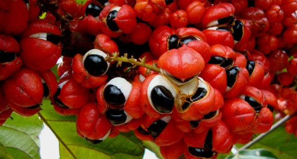 what is guarana