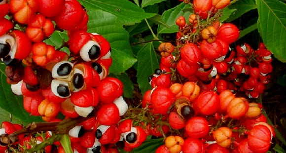 What Is Guarana? What Are Its Benefits?