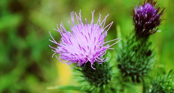 Milk Thistle Extract | Should You Be Taking It?