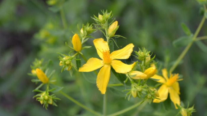 Benefits Of St John's Wort | Uses For Depression, Menopause, PMS and more