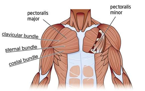 anatomie du torse
