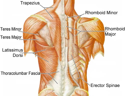 back-anatomy