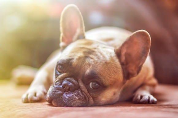 bulldog-ne-cours-pas