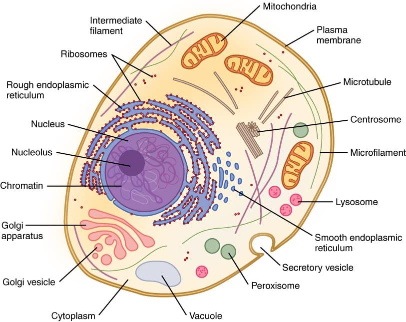 schéma de cellule montrant ses différents éléments. C'est dans le ribosome que les protéines sont créées avec des acides aminés et de l'arn messager