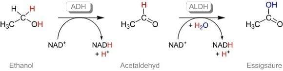 Abbau von Ethanol