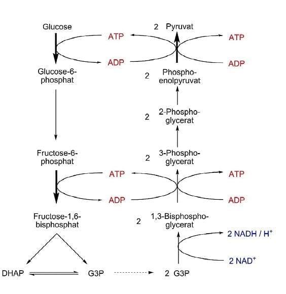 Doch welche Rolle spielt ATP im Stoffwechsel?