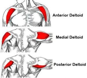 Die Anatomie der Deltamuskeln