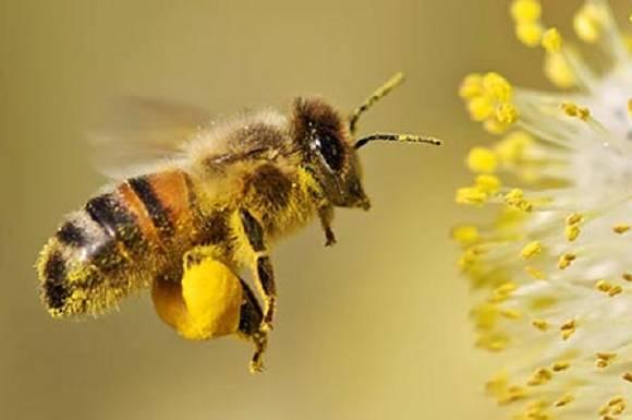 Bienenpollen