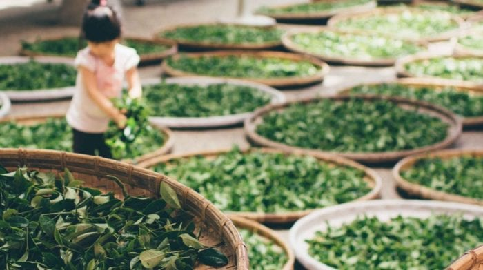 Grüner Tee & Verbesserung der Muskelregeneration