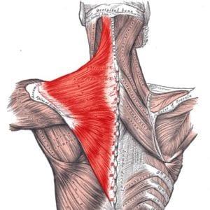 musculos, fibras espalda y cuello