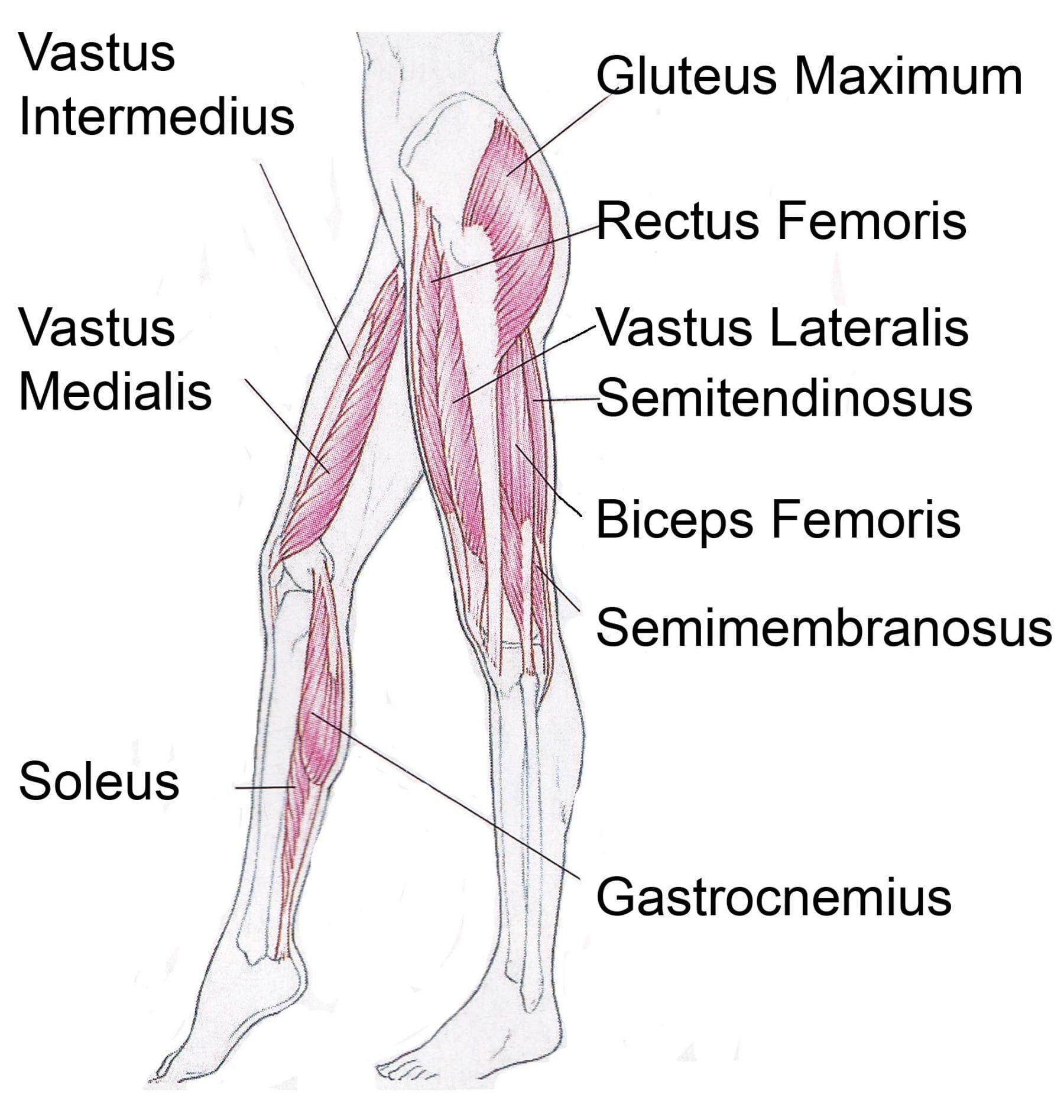 Musculos de las piernas