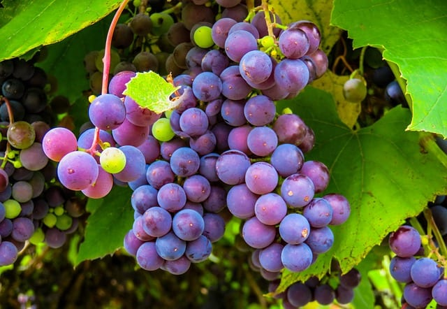 extracto-de-semilla-de-uva