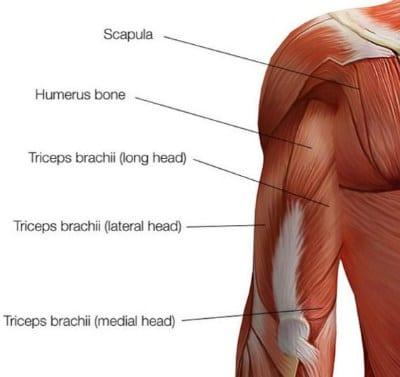 partes del triceps