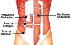 musculos abdominales
