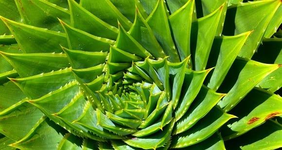 Aloe Vera para Adelgazar – Benefícios y Propiedades