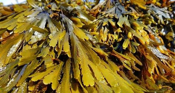 ¿Para qué sirven las algas marinas? Beneficios y Propiedades