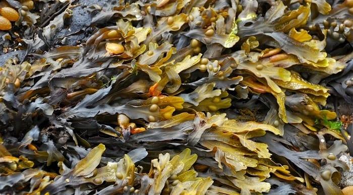 Propiedades de las algas marinas