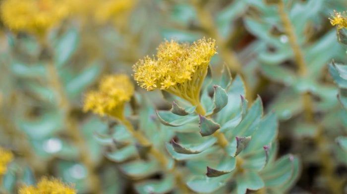 ¿Qué es la Rhodiola Rosea y para qué sirve?