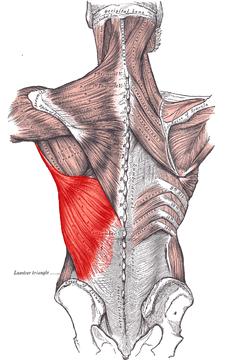 muscoli dorsali