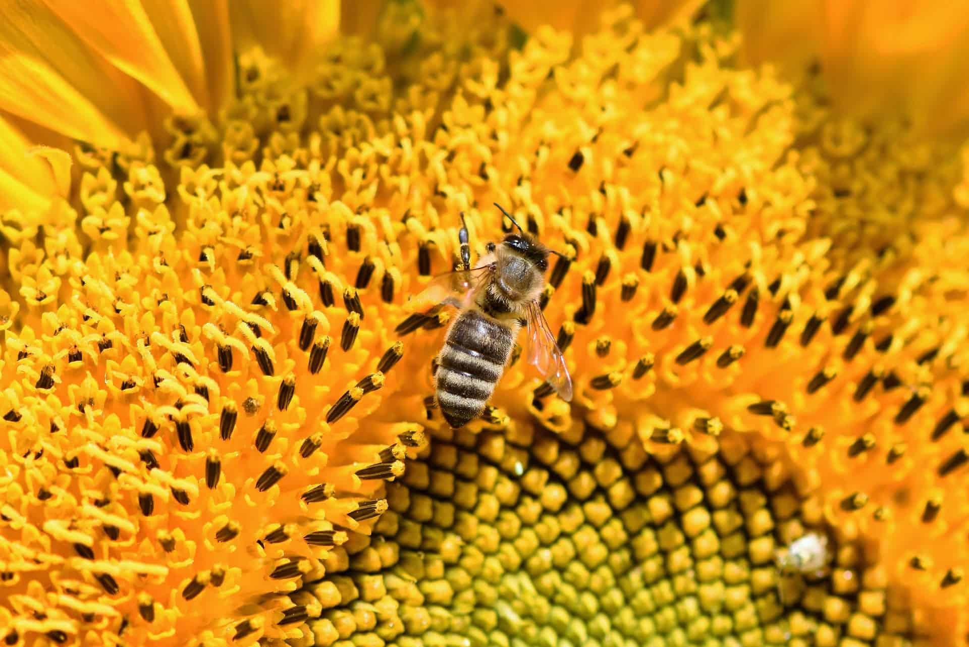 Polline D'Api | Proprietà, Benefici Per La Salute e Controindicazioni