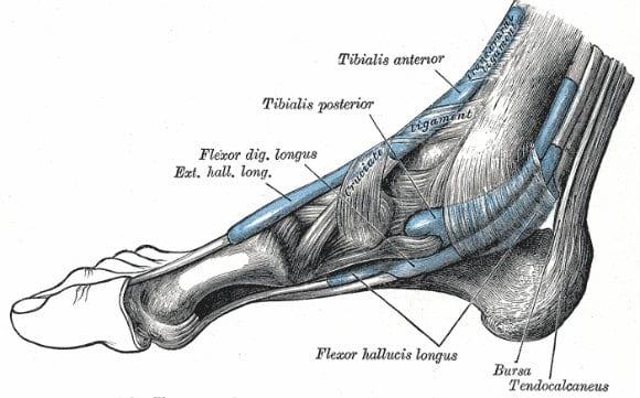 muscoli tibiali