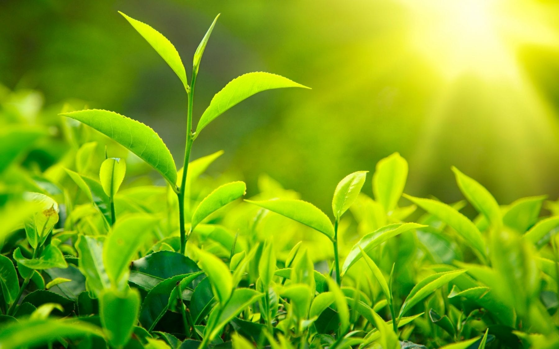 extracto de chá verde