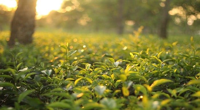 jardim com cha verde