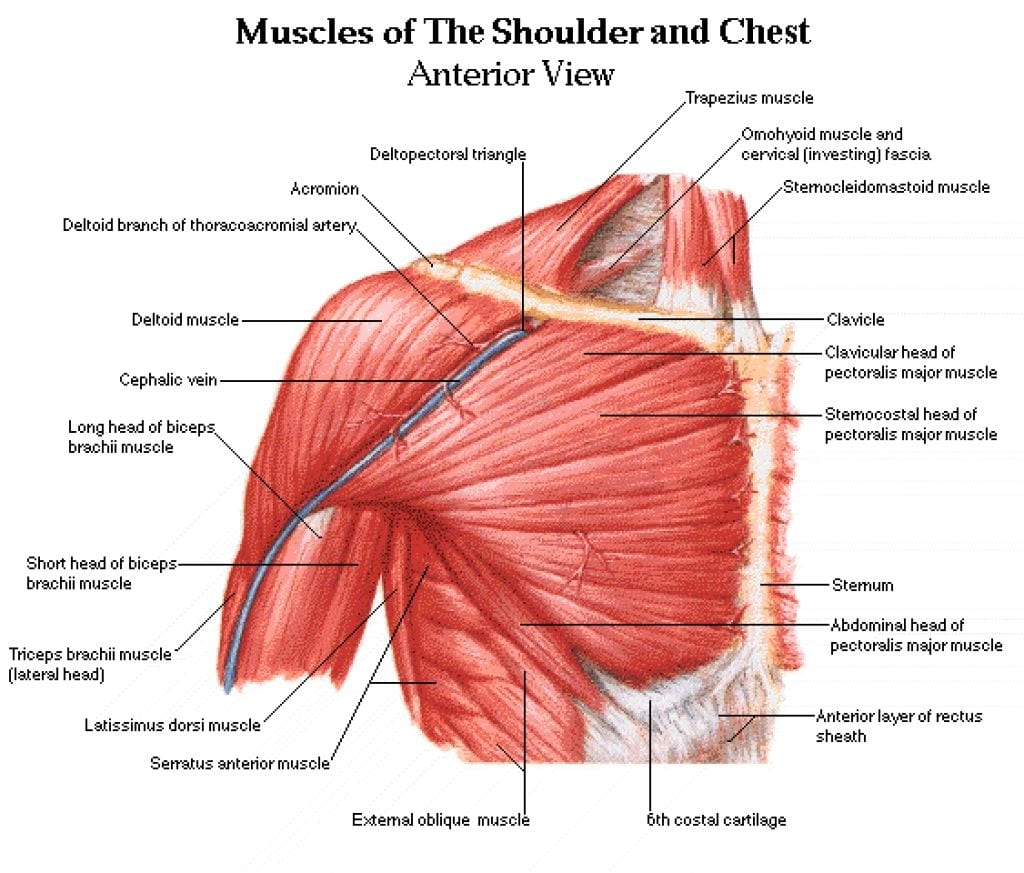 Chest Muscles Diagram Chest Muscles Anatomy – Anatomy Human Body