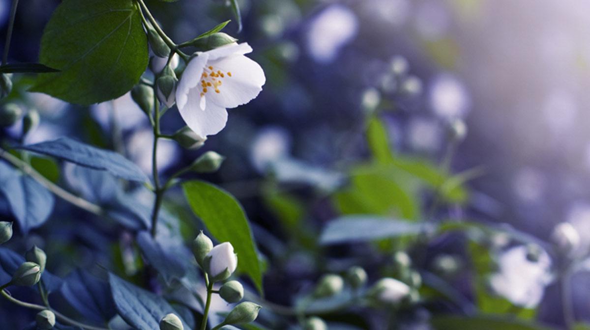 Aroma Focus: Bergamot and Jasmine