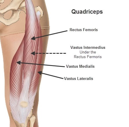 quads anatomy