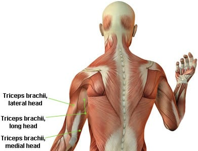 Bench press muscles