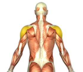 rear deltoid