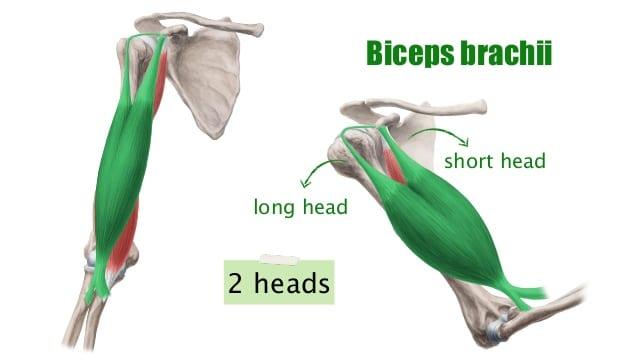 brachii
