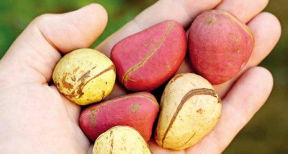 The Kola Nut | Benefits, Mechanisms and Safety