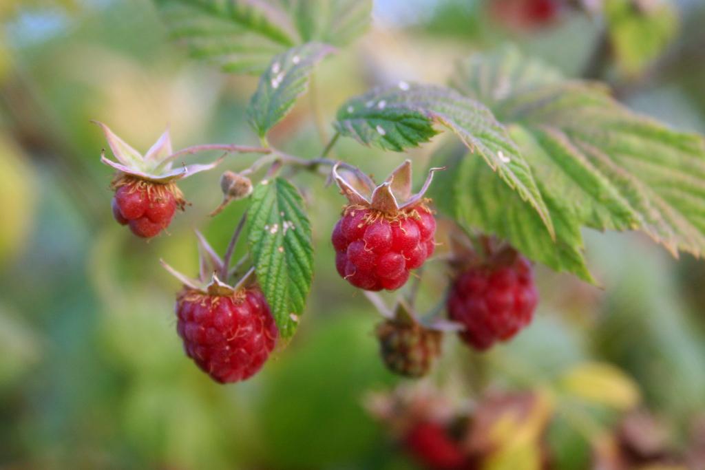 raspberries growing on plant