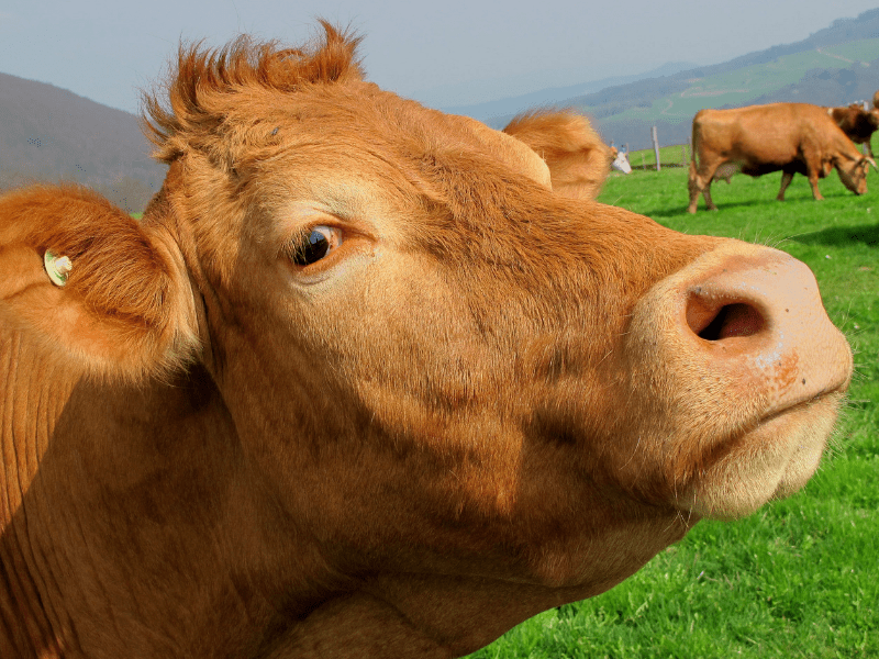 A cow looking smug or skeptical