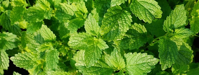 peppermint essential oil benefits weight loss