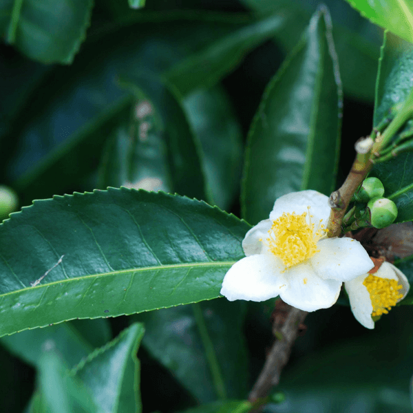 A nice, green looking Camellia sinensis plant