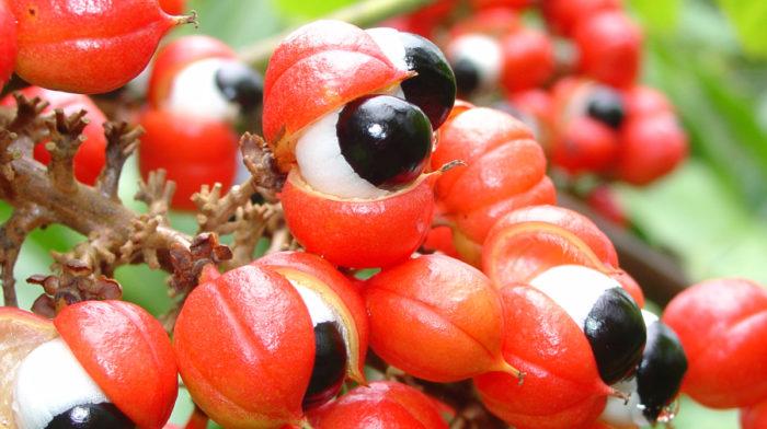 Guarana – Co daje Guarana i jak ją stosować?