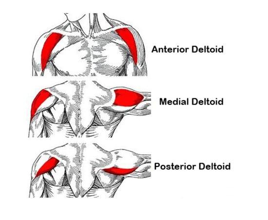 Hlavy deltového svalu
