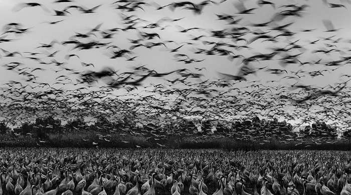 A flock of birds in black and white by Guy Cohen.