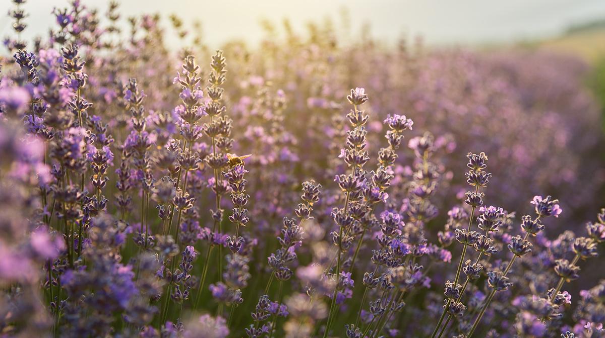 The Benefits of Lavender | Sleep Tips with Sammy Margo
